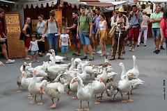 Pastoreig d`oques (Enllasez - Enric LLaó) Tags: tortosa ocas pastor mercat mercado 2018