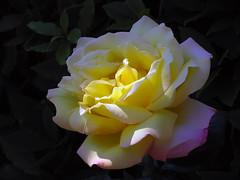 Peace (Gloria Dei) Hybrid Tea Rose (Tanya Mass) Tags: naturallight lit sunlight lightandshadow rose gloria day gloriadei peace rosestandardpeace peacehybridtearose глория роза эталонрозы глориядеи