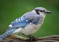 _A997075 (mbisgrove) Tags: bluejay a99m2 bird a99ii sony sal70400g2 jay blue