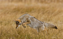 Leaping Coyote (Dick Shaffer) Tags: animal mammal grass coyote field yellowstone jumping hunting leaping diving mousing golden carnivore