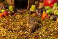 wild house mouse in log pile  with fruits and berry's (4) (Simon Dell Photography) Tags: wild george log pile house mouse nature garden animal rodent cute fun funny summer fruits berries berrys display lots bounty moss covered simon dell photography sheffield 2018 aug cool awesome countryfile ears close up high detail cards design