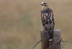 Just Hanging Out (Bill G Moore) Tags: swainsonhawk birdofprey naturephotography raptor wild wildlife pawnee grasslands colorado canon post grass wire brown