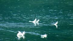 Plumes de cygne (bernard.bonifassi) Tags: bb088 06 alpesmaritimes aout 2018 oiseau palmipéde cygne lac lacdubroc eau canonsx60 plume