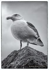 Depoe Bay Oregon (Kymm Hinterberger) Tags: oregon coast beach bird gull seagull westerngull birds depoe depoebay