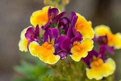 Nemesia (jaybeepea) Tags: macromondays multicolours flower petals purple orange yellow green