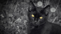 Cute Satan (endresárvári) Tags: pussycat yelloweyed yelloweye croatia black blackcat bw monochrome