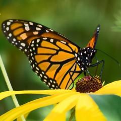Beautiful creatures (kirsten.eide) Tags: monarchbutterfly wildlife outdoors macro nikon beauty gardens nature animals butterfly