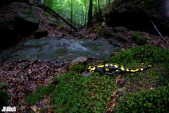 Fire salamander, Salamandra salamandra @ Thüringen 2018 (Jan Rillich) Tags: feuersalamander firesalamander amphibians salamander yellowspots salamandrasalamandra salamandra thüringen fisheye sigma15mm fun sigmafisheyedg15mmf28 sigma15mmf28 exdgdiagonalfisheye wideangle weitwinkel funny jan rillich janrillich picture photo photography foto fotografie eos digital wildlife animal nature beautiful beauty sunny sun fauna flora free animalphotography canon canon5dmarkiii