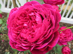UK - Scotland - West Lothian - Wilkieston - Jupiter Artland - Rose walk - Pink rose (JulesFoto) Tags: uk scotland westlothian wilkieston jupiterartland sculpturepark rose