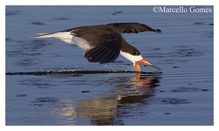 Black Skimmer (Rynchops niger) BLSK -  Slicing the Waters (best seen large)