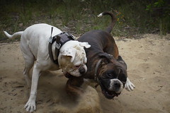 Dramatic play pair (Painful, slow internet:() Tags: boxer dog