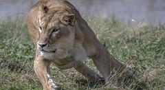 Fast Cat (Jonnyfez) Tags: lioness lion predator big cat yorkshire wildlife park jonnyfez d500 nikon