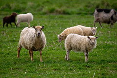 Most Numerous Residents (pdxsafariguy) Tags: livestock sheep iceland hofn pasture green animal farm grass wool lamb field agriculture rural flock herd grazing tomschwabel