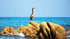 Il canto del cormorano