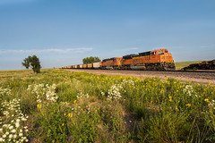 RR-20180813-BrushSub-20 (skyviewtim) Tags: bnsf9147 coalload coloradorailroads coloradotrains roggen sunflowers