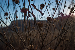 Dry after the winter (ElArreglador) Tags: golden hour hora dorada atardecer sunset dry seco plantas plants brown sky shallow dept field dof poca profundidad de campo