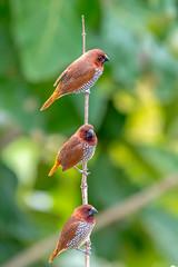 Three Musketeers1 (Subash BGK) Tags: scalybreastedmunia spicyfinch spottedmunia nutmegmannikin estrildidfinch finch bird