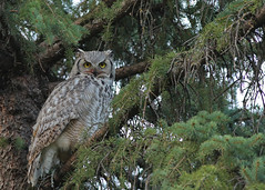 Great Horned owl...#5 (Guy Lichter Photography - 4M views Thank you) Tags: owlgreathorned canon 5d3 canada manitoba winnipeg wildlife animal animals bird birds owl owls