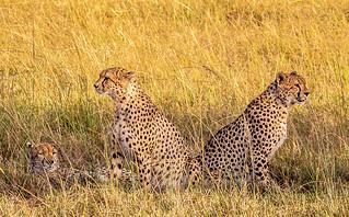 On the lookout: three Cheetah brothers in the Maasai Mara, Kenya