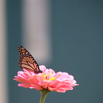 Monarch Butterflies of Stratford - September 1st & 2nd, 2018 (Stratford, Ontario, Canada) thumbnail