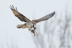 Eating on the fly... (Earl Reinink) Tags: bird raptor animal osprey fish fishing nature wildlife claws wings earlreinink niagara daudhuhdza