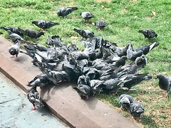 Random Photos! - Pigeon Feast. (Polterguy40) Tags: pigeons pigeon birds bird massachusetts boston