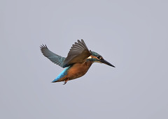 Kingfisher (alcedo atthis) (Steve Ashton Wildlife Images) Tags: alcedo atthis alcedoatthis common kingfisher commonkingfisher