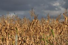 Cornfield (Ce Rey) Tags: cornfield campo argentina provinciadebuenosaires cielo canon eos80d maizal maiz
