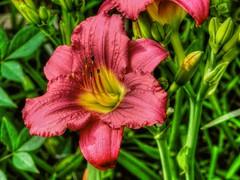 Lily (clarkcg photography) Tags: flower flora fridayflora 7dwf burgundy yellow lily
