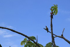 Pic de Hoffmann (Dietmar Petrausch) Tags: melanerpeshoffmannii picidae pic picdehoffmann woodpecker hoffmannswoodpecker carpintero carpinterodehoffmann sanjosé costarica