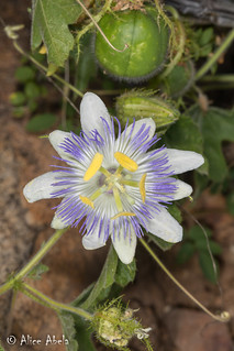 Arizona Passionflower (Passiflora arizonica)