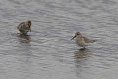 Curlew Sandpiper Titchwell RSPB 14-09-2018-3469 (seandarcy2) Tags: birds wild wildlife waders sandpiper curlew curlewsandpiper norfolk uk freshmarsh