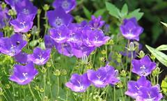 REFORD GARDENS | CAMPANULA  CARPATICA WHITE CLIPS |  CARPATHIAN HAREWELL   |  CAMPANULE DES CARPATES    |   LES JARDINS DE MÉTIS  | QUEBEC  |  GASPESIE   |  CANADA (C C Gosselin) Tags: reford gardens | campanula carpatica white clips campanule des carpates les jardins de métis quebec gaspesie canada carpathian harewell canon 7d 7dmarkii rebel t2i canonrebelt2i eos canon7d markii rebelt2i canonrebel canont2i eost2i eos7d eos7dmarkii mark 2 mark2 eos7dmark2 canon7dmarkii ii canoneosrebelt2i canoneos7d canoneos ph:camera=canon flickr
