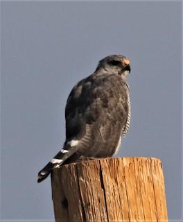 Gray Hawk (Buteo plagiatus) 07-31-2018 Kino Springs, Santa Cruz Co. AZ 3