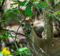 2018.09.13.2413 Three-Pointer V (Brunswick Forge) Tags: 2018 virginia grouped wildlife nature deer botetourtcounty woods trees animal animals animalportraits outdoor outdoors nikond500 tamron150600mm mountains summer commented favorited