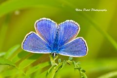 IMG_8097 (nitinpatel2) Tags: butterfly macro nature nitinpatel