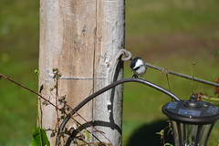 2018-09-10 Bird Watching 7 (s.kosoris) Tags: skosoris nikond3100 d3100 nikon bird birds chickadee camp huronian