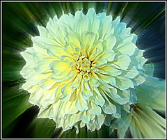 Dahlia Artwork .. (** Janets Photos **) Tags: uk floralartwork flora plantsflowers macro closeups