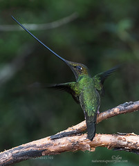 A Second To Rest !!!!!! (KevinBJensen) Tags: bird himmingbird sword billed beautiful long bill ecuador high andes free wild wildlife awesome