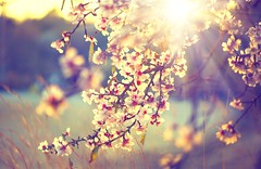 Beautiful nature scene with blooming tree and sun flare (marcinl) Tags: blooming tree flowers spring blossom nature scene closeup flower almond branch bokeh backlight outdoor blossoming sunbeam backlit natural apricot petal aroma yellow sunny scenery bloom sun gardening fragility pink cherry focus orchard backdrop design close growth plant weather beauty blur flare sky art beautiful background health botany china freshness sakura ukraine