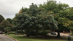 Red Horse Chestnut - tree - September 2018 (Exeter Trees UK) Tags: red horse chestnut tree september 2018