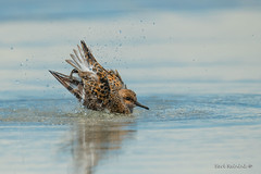 splish (Earl Reinink) Tags: bath bathing splish splash water ocean sandpiper nature wildlife outdoors earl reinink earlreinink zrhtouodza