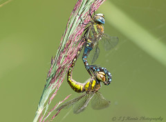 Coupling (ian._harris) Tags: d7200 nikon sigma 500f45 lackford naturaleza natural nature naturephotography dragonfly august sunny insect wildlife bug flickr life