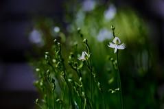 flower 1602 (kaifudo) Tags: sapporo hokkaido japan botanicalgarden fringedorchis whiteegretflower flower 札幌 北海道 北大植物園 サギソウ 鷺草 nikon d810 nikkor afs 70200mmf28gedvrii 70200mm