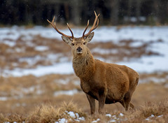 DSC3064  Highland Stag.. (jefflack Wildlife&Nature) Tags: reddeer stag stags animal animals wildlife woodlands moorland moors mountains scotland highlands cairngorms wildlifephotography jefflackphotography forest countryside nature