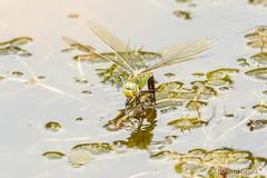 Libelle 79 (rgr_944) Tags: libelle dragonfly libellule insekten tiere macro natur outdoor canoneos60deos70deos80deos7dmk2eos5dmk4 rgr944
