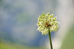 DSC02750 (ivoräber) Tags: blume alps switzerland swiss sony schweiz systemkamera flower