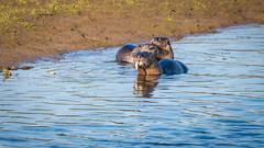 There Otter be a Law (ausmc_1) Tags: 2018 nikkor2oo500f56vr comox waterfront northamericanriverotterlontracanadensis d800 riverotter komokscomoxestuary august wildlife canada estuary britishcolumbia wetland vancouverisland
