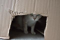 Peek a boo (pouncealot) Tags: cat catportrait pet petportrait boo aww cute