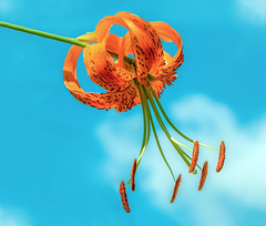 More Sky (12bluros) Tags: sky clouds lily tigerlily flower flora floral canonef100mmf28lmacroisusm lilium